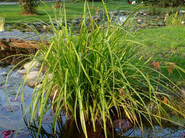 Piante acquatiche carex pseudocyperus for Piante da laghetto