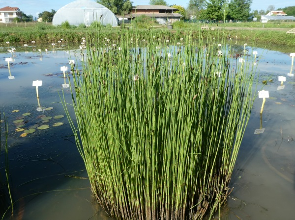Equisetum palustris Gracilis