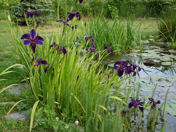 Iris louisiana Black Gamecock