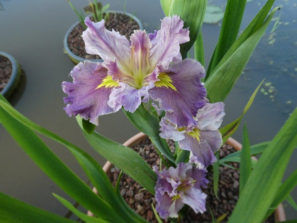 Iris louisiana Lake Hamana