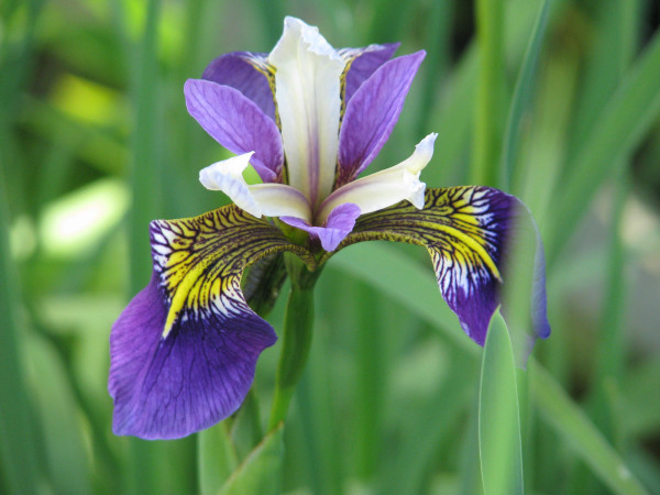 Iris pseudacorus Regal Surprise
