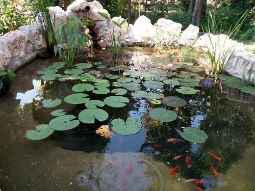 Piante acquatiche laghetti dei clienti for Laghetto giapponese