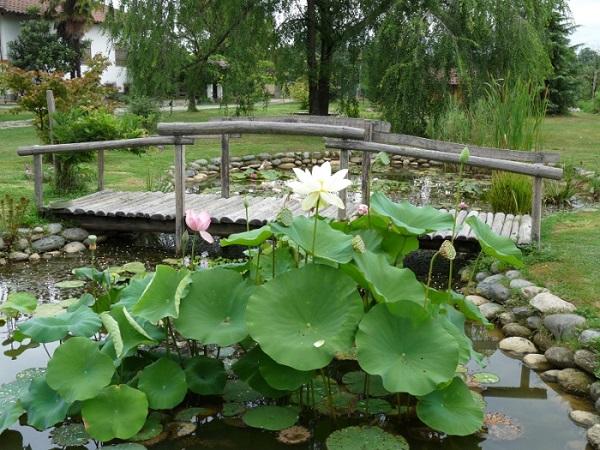 Piante acquatiche i nostri laghetti for Piante da laghetto ossigenanti