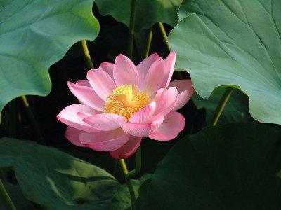Flor de loto Nelumbo Nucifera