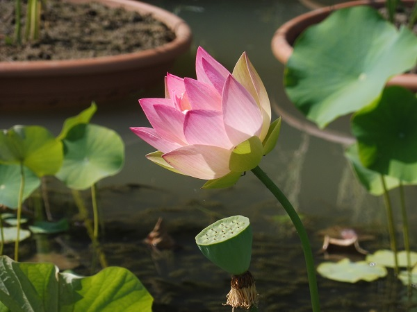 Nelumbo Green Maiden