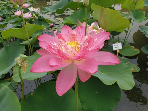 Nelumbo Rosea Plena