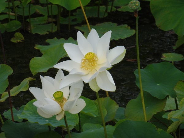 Nelumbo White Triangle