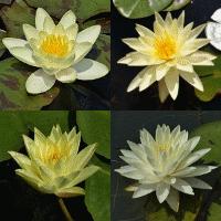 piante acquatiche ninfee rustiche per laghetti