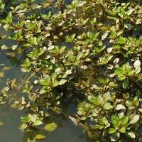 Piante acquatiche piante palustri per laghetti e for Piante palustri