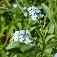 Myosotis Palustris Mermaid