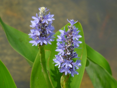 Piante acquatiche tipi di piante acquatiche ninfee for Piante acquatiche ossigenanti per laghetto