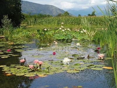 Piante acquatiche chi siamo e come possiamo aiutarti for Piante acquatiche laghetto giardino